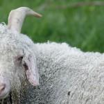 goat-753839_1280