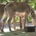 zebras-1490332_1280