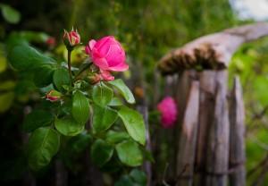 rose-2110831_640