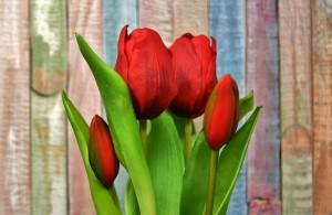 tulips-3167462_640