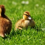 chicks-2426644_640