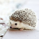 hedgehog-468228_1280