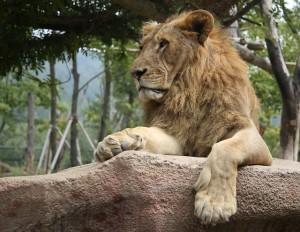 lion-2286400_640